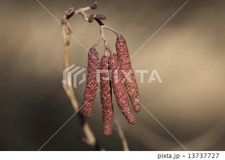 自然 植物 ハンノキ、雄花と雌花です。水辺でよく見られる木ですが、薬効に注目が集まっているようです 13737727
