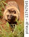 ホンドタヌキ イヌ科 タヌキの写真 13747045