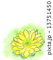 福寿草 水彩 花のイラスト 13751450