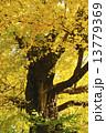 黄葉 銀杏 大木の写真 13779369