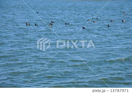 江戸川の水鳥 13787971