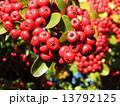 ピラカンサス 赤色 実の写真 13792125