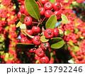 ピラカンサス 赤色 実の写真 13792246