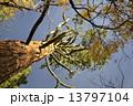 セコイア セコイヤ ジャイアントセコイアの写真 13797104