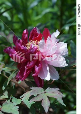牡丹 品種は花二喬(はなにきょう) 13798089