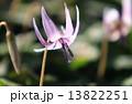 カタクリの花 13822251