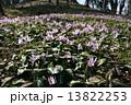 カタクリの花 13822253