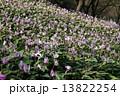 カタクリの花 13822254