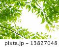 新緑の欅の若葉 13827048