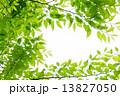 新緑の欅の若葉 13827050