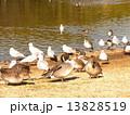 海浜公園の池に飛来した冬の渡り鳥オナガガモとユリカモメ 13828519