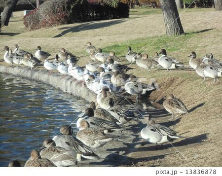 稲毛海浜公園の池の淵で一休みの冬の渡り鳥オナガガモとユリカモメ 13836878