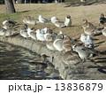 オナガガモ ユリカモメ 野鳥の写真 13836879