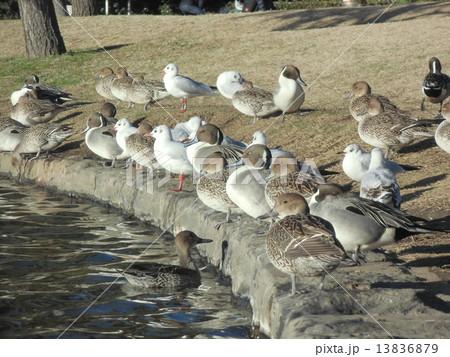 稲毛海浜公園の池の淵で一休みの冬の渡り鳥オナガガモとユリカモメ 13836879