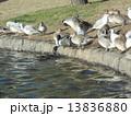 オナガガモ ユリカモメ 野鳥の写真 13836880