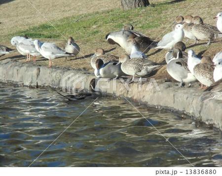 稲毛海浜公園の池の淵で一休みの冬の渡り鳥オナガガモとユリカモメ 13836880
