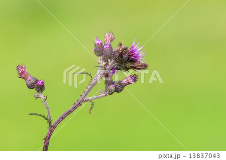 Thistle on a green background 13837043