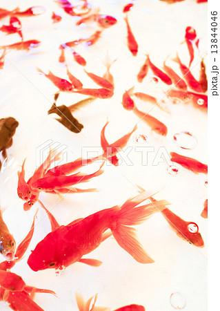 金魚 13844046