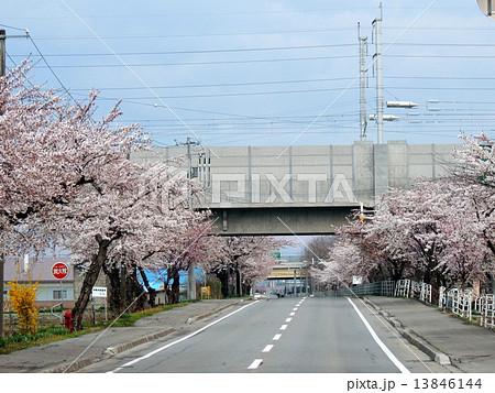 函館の桜 13846144