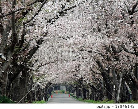 函館の桜 13846145