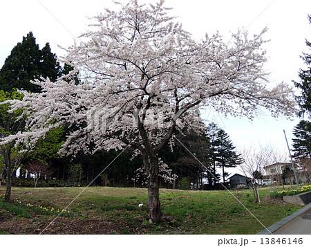 函館の桜 13846146