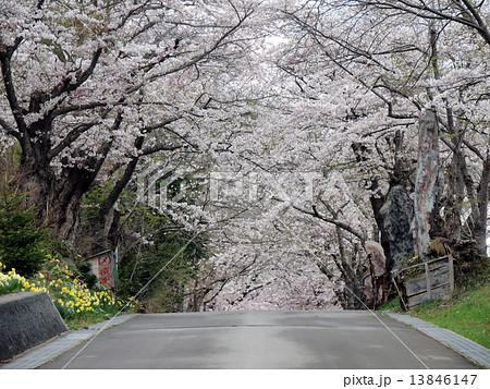函館の桜 13846147