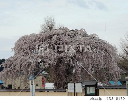 北斗市の桜 13846170