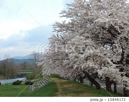 函館の桜 13846172