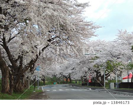 函館の桜 13846173