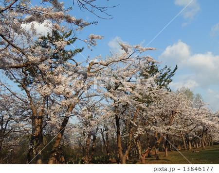 函館の桜 13846177