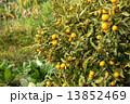 木に生っているキンカン 13852469