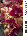 Photography of Phalaenopsis Orchid flowers. 13853458