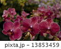Photography of Phalaenopsis Orchid flowers. 13853459