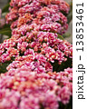 Photography of pink Kalanchoe plant bloom. 13853461