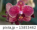 Photography of Phalaenopsis Orchid flower. 13853462