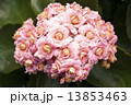 Photography of pink Kalanchoe plant bloom. 13853463