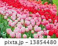 Pink and red tulips on the flowerbed  13854480