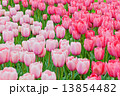Pink and red tulips on the flowerbed  13854482