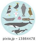 北国の海辺の生き物  北海道 13864478