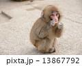 子ザル 食事中 日本猿の写真 13867792