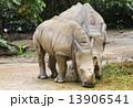 草食動物 サイ さいの写真 13906541