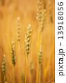 麦の穂 13918056