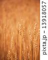 麦の実り 13918057