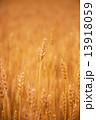 実りの麦畑 13918059