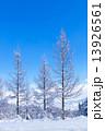 冬のカラ松 13926561