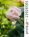 淡い色のバラ 13926565