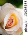 バラの花弁 13926566