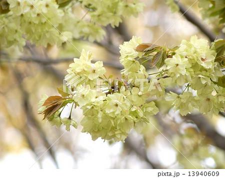 黄色い桜:ウコンザクラ 13940609