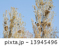 巣 カラス からすの写真 13945496