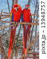 二羽のオウム 釧路動物園 (釧路市) 13948757